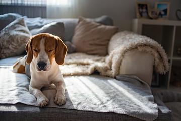 Beagle dog tired sleeps on a cozy sofa, couch, sun falls through window