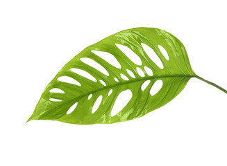 Green tropical leaf on white background