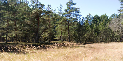 Laesoe / Denmark: Small forest clearing with coniferous trees and a naked deciduous tree in the nature reserve Laesoe Klintplantage on a sunny day at the end of April