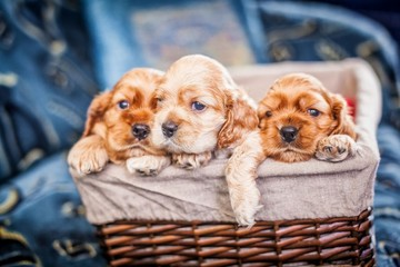 small PUPPIES COCKER SPANIEL in the basket