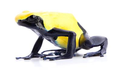 poison arrow frog isolated on white background. Dendrobates tinctorius, citronella.