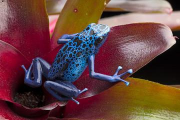 Blue and black poison dart frog, Dendrobates azureus. A beautiful poisonous rain forest animal in danger of extinction. Pet amphibian in a rainforest terrarium. .
