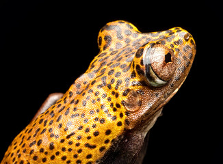tree frog eye of Hypsiboas geographica, a tropical jungle animal from the Amazon rain forest