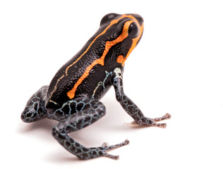 poison dart frog, Ranitomeya imitator, Yumbatos. A small poisonous rain forest animal from the tropical Amazon rain forest in Peru. Isolated on white background.