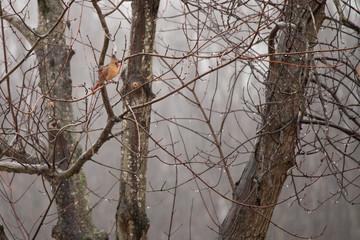 Female Cardinal in Winter Tree