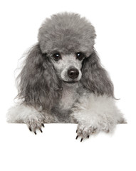 Wall Mural - Young toy poodle on white banner