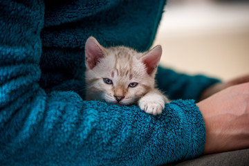 Snow Bengal Kitten relaxing on Arm