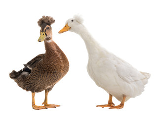male brown duck and white duck female isolated