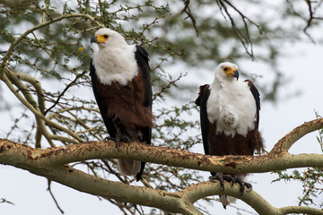 Pygargue vocifère,.Haliaeetus vocifer , African Fish Eagle, Parc national Kruger, Afrique du Sud