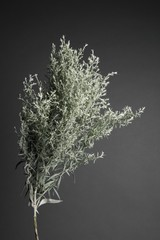 Thyme plant against gray background