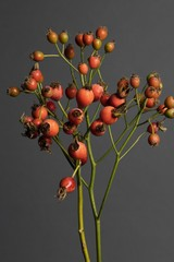 Rose hips plant against gray background
