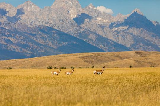 Deer wandering Yellowstone National Park, Wyoming