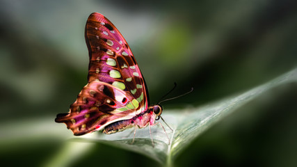 Close up of an Apatura butterfly