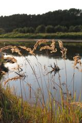 Fototapeta trzciny na brzegu rzeki Bug obraz