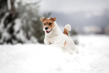 Doggy breed Jack Russell Terrier in the winter forest