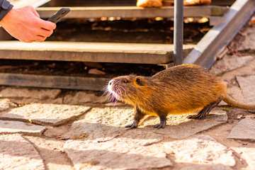 Tourist is taken photo of nutria with mobile phone. Portrait of wet river rat in city street.