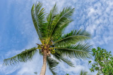 Coconut palm on blue sky with white clouds.