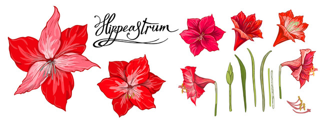 Hippeastrum with leaves. Hand drawn sketch, vector doodle color illustration and lettering names
