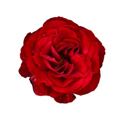 Red rose isolated on white background. Beautiful flower for women for Valentine's Day. Red petals