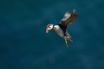 Puffin in flight against a sky background