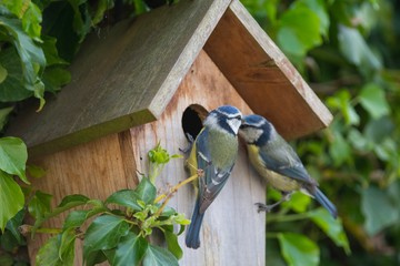 Poster de jardin Oiseau A pair of Blue Tits at a nesting box