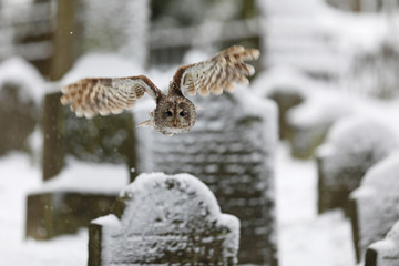 Strix aluco, Tawny owl  flying above tombstones in cemetery. Wildlife scene nature