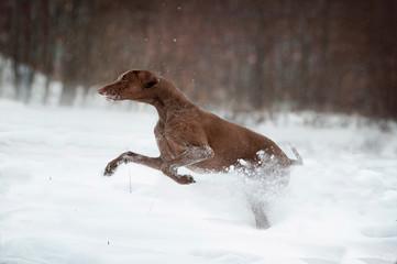 greyster dog runs in winter snow