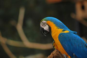 Papagaio em Minas Gerais