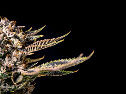 Half Marijuana Plant for Black Background Poster