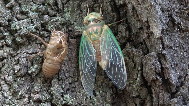 Green cicada emerging from shell.