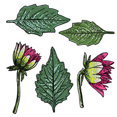 Set of fern, leaves and half open buds of Daisy, Dahlias, Zinnia and Gerbera flower. Hand drawn botanical herbs, domestic and wildflowers floral sketch. Vector.