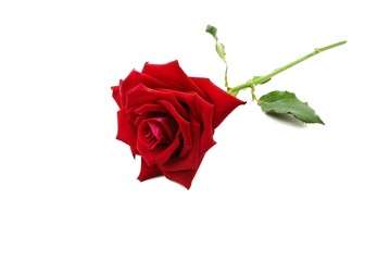 Top view of red rose and leaf on white background, Big red flower, Valentine's Day design, Love concept, wedding invitation, single