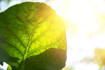 Closeup green leaf with sunlight for bio science of chlorophyll and process of photosynthesis in nature plant.