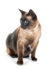 siamese cat in studio