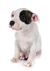 puppy staffordshire bull terrier