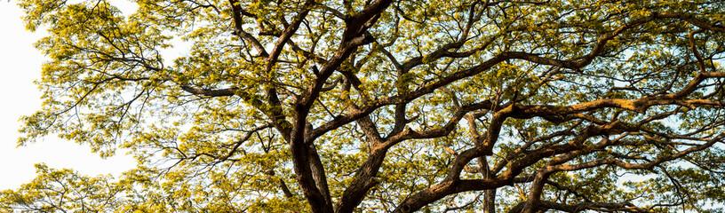 Big tree canopy background
