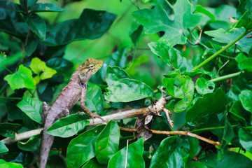 chameleon climbing on tree waiting for hunt insect