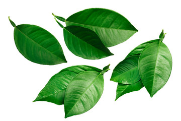 Citrus leaves isolated on white, paths