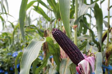Close-up sweet purple corn on stalk in field