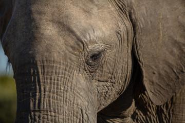 The eye and eyelashes of an elephant.