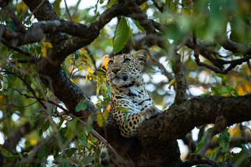 Beautiful young female leopard in a tree with green leaves