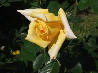 Żółta róża z lekko zawiniętymi płatkami o błyszczących w słońcu liściach, główka odkręcona w lewą stronę