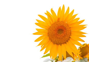 Fototapeta fleur de tournesol en coin de page, fond blanc