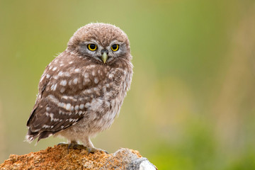 Fototapete - Little owl, Athene noctua, sitting on a stone. Young bird.