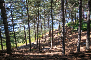 Beautiful summer forest with different trees , pine forest