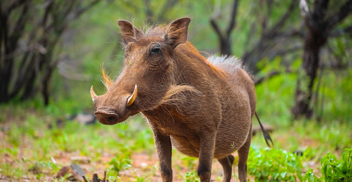 Close up of a wild African Warthog