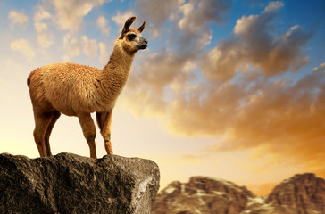 Llama (lama glama) at sunset, mammal living in the South American Andes.
