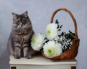 Still life with white chrysanthemums and gray kitty
