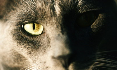 portrait of the eyes of a gray cat, illuminated by the sun