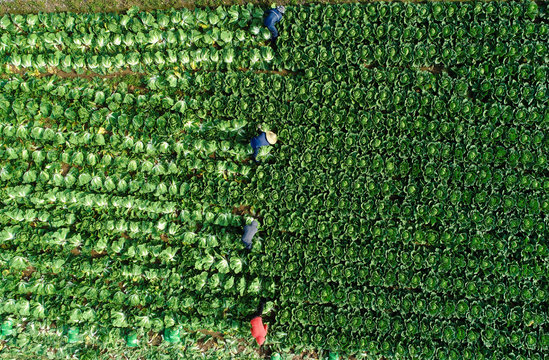 Chinese cabbage harvest.